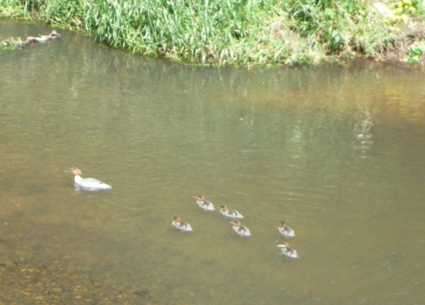 21 May 2014 Goosander on the river